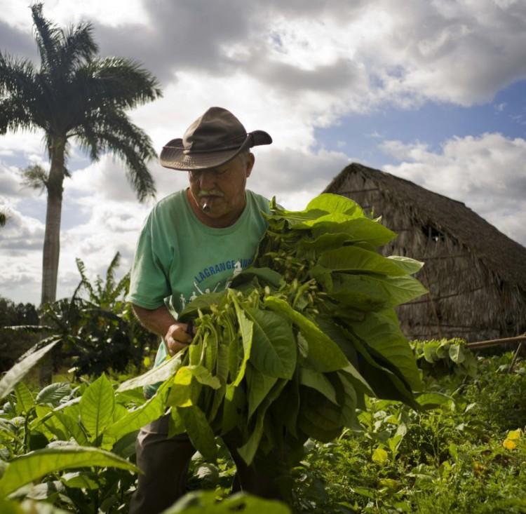 Как выращивают табак на Кубе